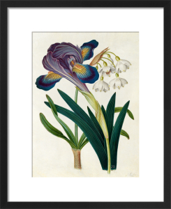Painted Iris and Summer Snowdrop by James Bolton