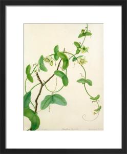 Passiflora vespertilio by Margaret Meen