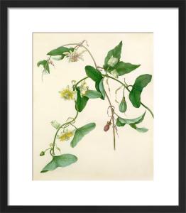 Passiflora misera by Margaret Meen