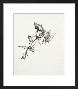 Hypericum forrestii by Graham Stuart Thomas