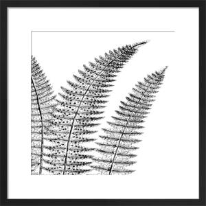 Fern II (on white) by Botanical Series
