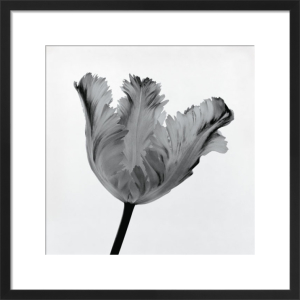 Parrot Tulip I by Tom Artin