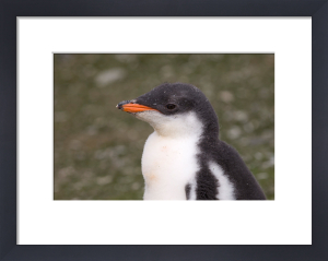 Gentoo Penguin, Aitcho Island, South Shetland Islands, Antarctica by Sergio Pitamitz