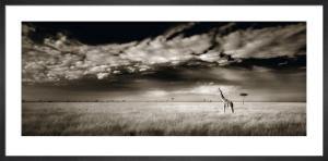 Masai Mara Giraffe by Ian Cumming