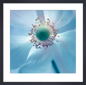 Japanese Anemone by Ian Winstanley