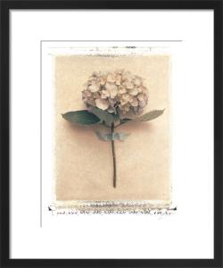 Single Hydrangea by Deborah Schenck