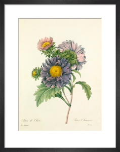 Aster de Chine : Aster Chinensis by Pierre Joseph Celestin Redouté
