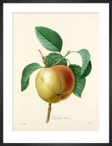 Calville blanc by Pierre Joseph Celestin Redouté