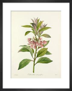 Enkianthus quinqueflorus by Pierre Joseph Celestin Redouté