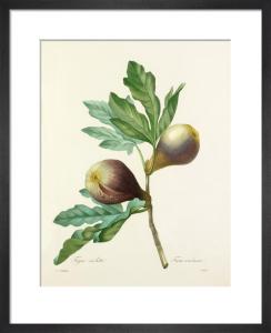 Figue violette : Ficus violacea by Pierre Joseph Celestin Redouté