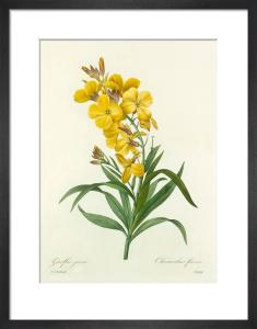 Giroflée jaune : Cheiranthus flavus by Pierre Joseph Celestin Redouté