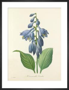 Hemerocallis Caerulea by Pierre Joseph Celestin Redouté