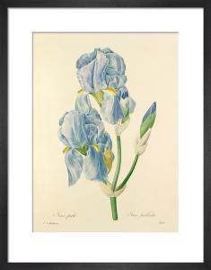 Iris pale : Iris pallida by Pierre Joseph Celestin Redouté