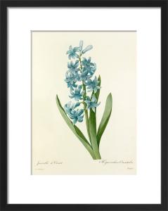 Jacinthe d'Orient : Hyacinthus orientalis by Pierre Joseph Celestin Redouté