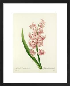 Jacinthe d'Orient varieté rose : Hyacinthus orientalis by Pierre Joseph Celestin Redouté