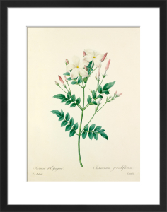 Jasmin d'Espagne : Jasminum grandiflorum by Pierre Joseph Celestin Redouté