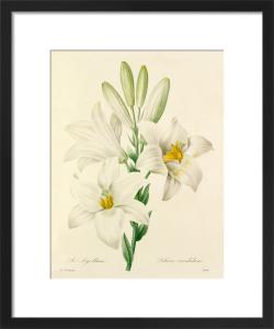 Le Lys blanc : Lilium candidum by Pierre Joseph Celestin Redouté