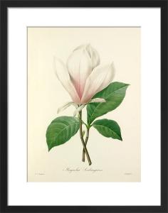 Magnolia Soulangiana by Pierre Joseph Celestin Redouté