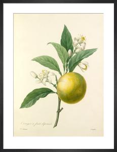 Oranger à fruits déprimés by Pierre Joseph Celestin Redouté