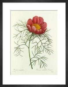 Paeonia tenuifolia : Pivoine à feuilles Linaires by Pierre Joseph Celestin Redouté