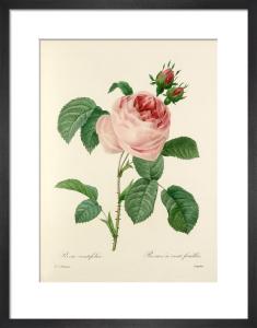 Rosa centifolia : Rosier à cent feuilles by Pierre Joseph Celestin Redouté