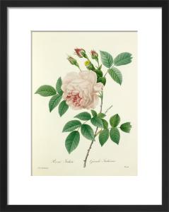 Rosa Indica : Grande Indienne by Pierre Joseph Celestin Redouté