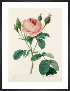 Rosa Muscosa : Rosier Mousseux by Pierre Joseph Celestin Redouté