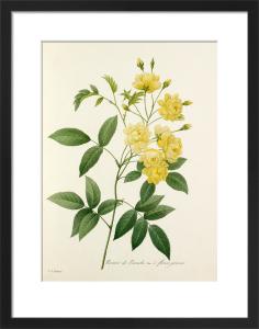 Rosier de Bancks Var. à fleurs jaunes by Pierre Joseph Celestin Redouté