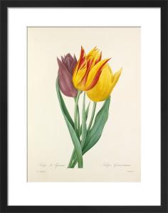Tulipe de Gesner : Tulipa Gesneriana by Pierre Joseph Celestin Redouté