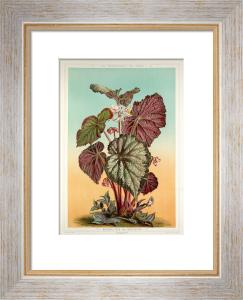 Begonia Rex var. Imperator by A. Gatternicht