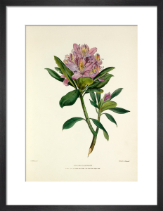 Rhododendron by Charles Joseph Hullmandel