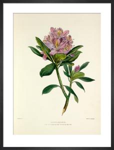 Rhododendron by Charles Joseph Hullmandel