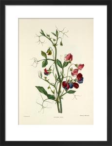 Sweet Pea by Charles Joseph Hullmandel