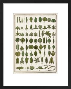 Plate VIII by Jean Baptiste Francois Bulliard
