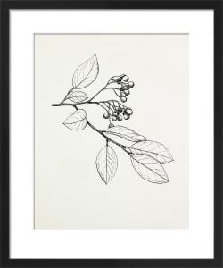 Cotoneaster glaucophyllus by Graham Stuart Thomas