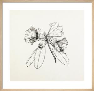 Rhododendron hybrid by Graham Stuart Thomas