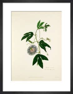 Passiflora incarnata. Three-leav'd Passion Flower by Mary Lawrance