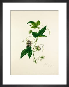 Passiflora celiata by Mary Lawrance