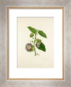 Passiflora maliformis by Mary Lawrance