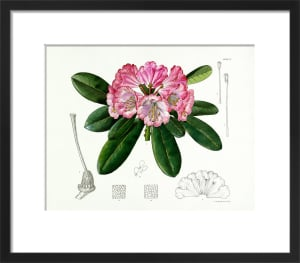 Rhododendron vernicosum by Lillian Snelling