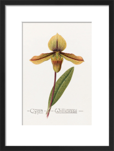 Cypm. Williamsii by John Livingstone McFarlane