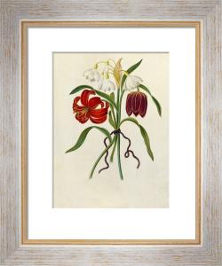 Scarlet Martagon, Cluster Snowdrop, Purple Fritillaria by James Bolton