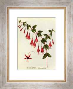Fuchsia coccinea by James Bolton