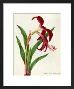 Jacobean Lily by James Bolton