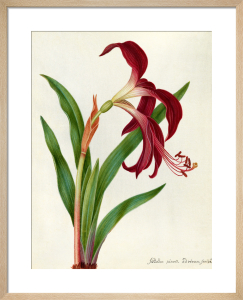 Jacobean Lily by James Bolton