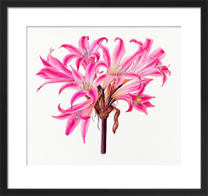 Amaryllis belladonna 'Rubra' by Lillian Snelling