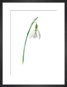 Galanthus elwesii? by Edward Augustus Bowles