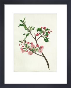 Pyrus spectabilis by Elizabeth Smith