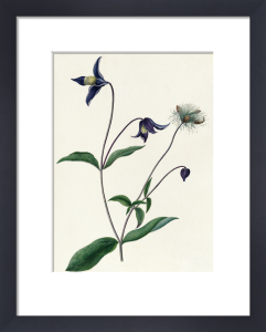 Clematis viticella by Emma Smith