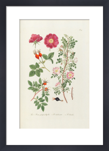 T107. Fig 1 Rosa pimpinellifolia by George Cooke